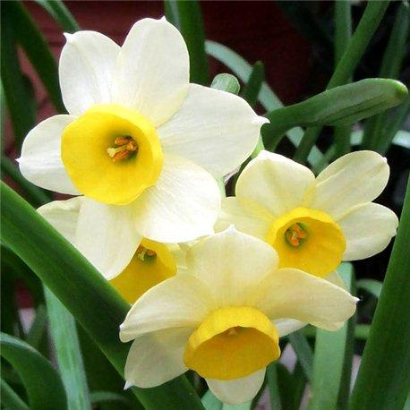 Нарцисс батанический Minnow 5 луковиц