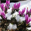 Брандушка весняна Bulbocodium Vernum 3 цибулини