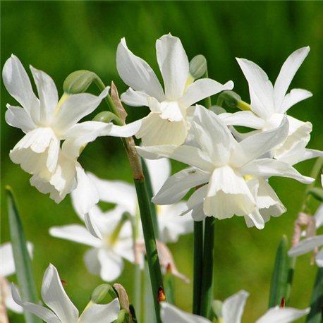 Нарцисс батанический Triandus Thalia 5 луковиц