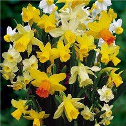 Нарцисс батанический микс 10 луковиц
