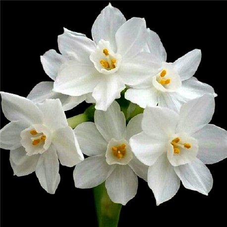 Нарцисс многоцветковый Indoor Paperwhite Ziva 1 луковица