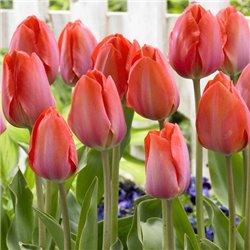 Тюльпан класичний Дарвіна Van Eijk 3 цибулини
