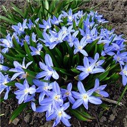 Хионодокса Luciliae Blue 20 луковиц