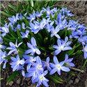 Хионодокса Luciliae Blue 10 луковиц