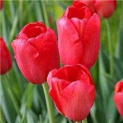 Тюльпан класичний пізній Sky High Scarlet 3 цибулини