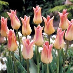 Тюльпан лілієцвітний Elegant Lady 2 цибулини