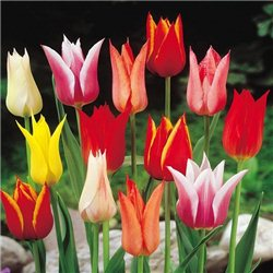 Тюльпан лілієцвітний мікс 4 цибулини