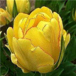 Тюльпан махровий Akebono 1 цибулина