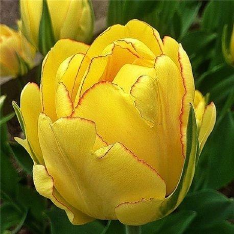 Тюльпан махровый Akebono 1 луковица