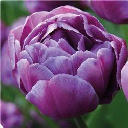 Тюльпан махровий Blue Diamond 2 цибулини