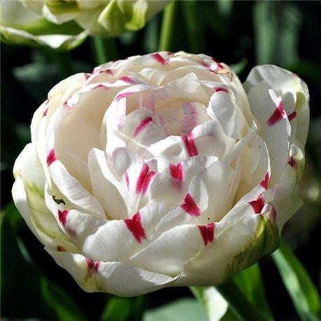 Тюльпан махровый Danceline 1 луковица