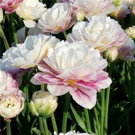 Тюльпан махровый Double Surprise 1 луковица