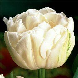 Тюльпан махровый Mount Tacoma 2 луковици