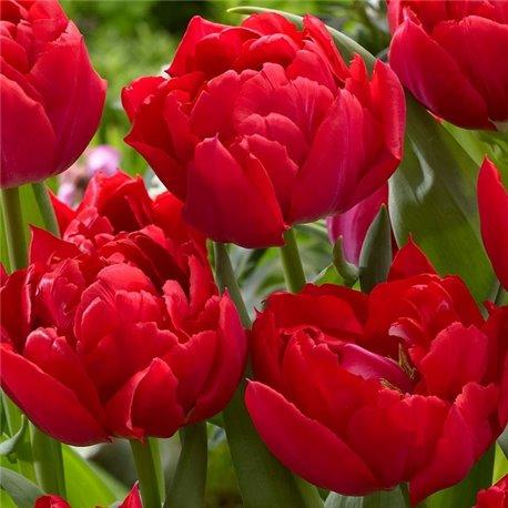 Тюльпан махровый Salcido 1 луковица