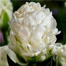 Тюльпан махровий White Mountain 1 цибулина