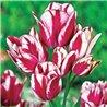Тюльпан многоцветковый Flaming Club 1 луковица