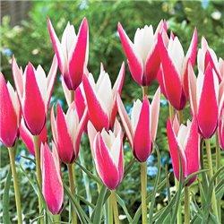 Тюльпан ботанічний ранній Clusiana Peppermintstick 2 цибулини