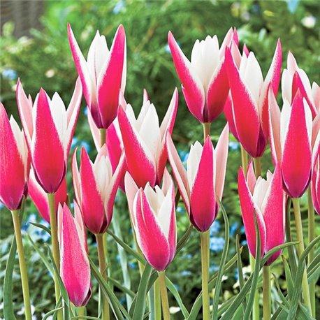 Тюльпан ботанический ранний Clusiana Peppermintstick 2 луковицы