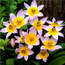 Тюльпан ботанічний ранній Saxatilis 3 цибулини