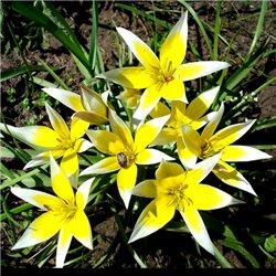 Тюльпан ботанический ранний Tarda 4 луковицы