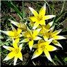 Тюльпан ботанічний ранній Tarda 4 цибулини