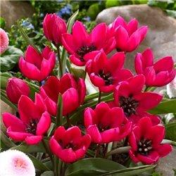 Тюльпан ботанічний ранній Violacea Black Base 3 цибулини