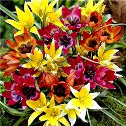 Тюльпан ботанический ранний микс 5 луковиц