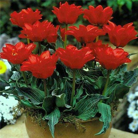 Тюльпан Грейга Double Red Riding Hood 2 луковицы