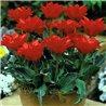 Тюльпан Грейга Double Red Riding Hood 2 цибулини