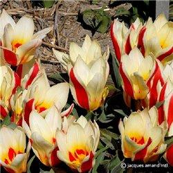 Тюльпан Кауфмана Floresta 2 цибулини