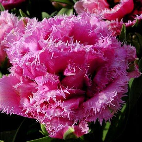Тюльпан бахромчатый махровый Matchpoint 1 луковица