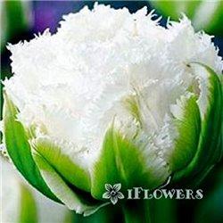 Тюльпан оторочений махровий Snow Crystal 1 цибулина