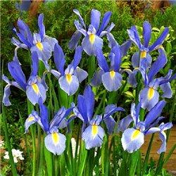 Ірис літній hollandica Blue 5 цибулин