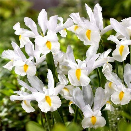 Ирис летний hollandica White 5 луковиц