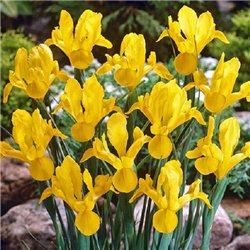 Ирис летний hollandica Yellow 5 луковиц