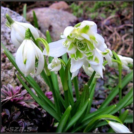 Подснежник Galanthus Flore Pleno 2 луковицы