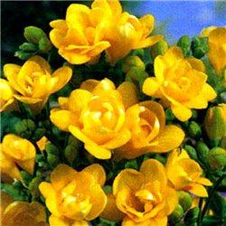 Фрезия махровая Yellow 5 луковиц