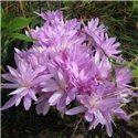 Пізньоцвіт осінній Colchicum autumnale Pleniflorum 1 цибулина