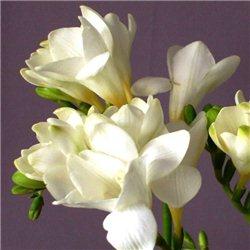 Фрезия махрова White 5 цибулин