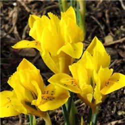 Ірис ранньовесняний Danfordiae 5 цибулин
