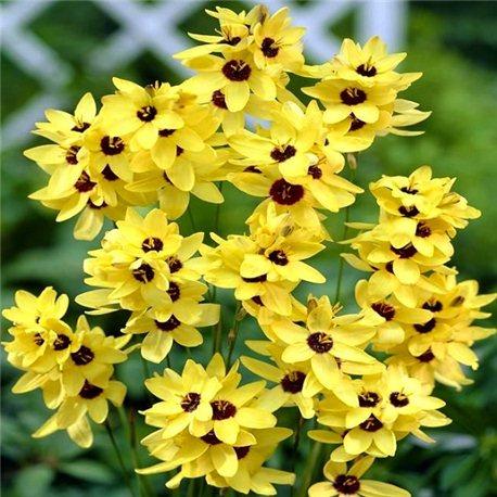 Иксия Yellow Emperor 8 луковиц