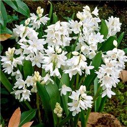 Пушкиния scilloides Alba 5 луковиц