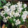 Пушкінія scilloides Alba 5 цибулин
