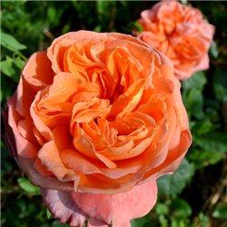 Троянда англійська Rene Goscinny