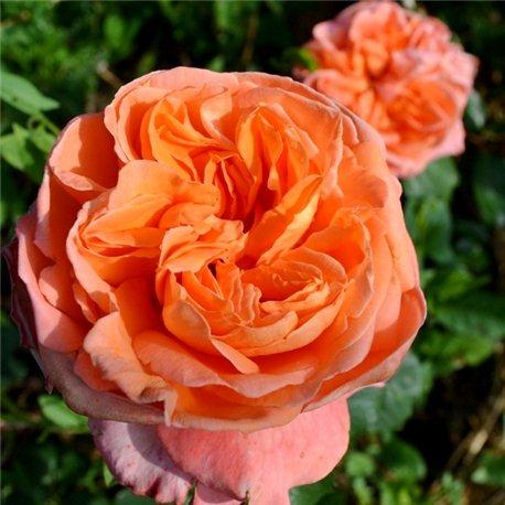 Роза английская Rene Goscinny