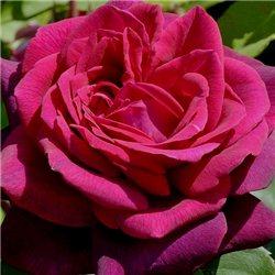 Троянда чайно-гібридна Графиня Діана