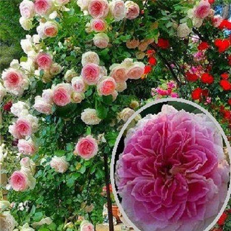 Роза плетистая Цезарь