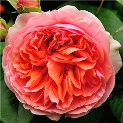 Троянда англійська Chippendale