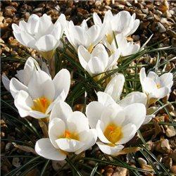 Крокус ранневесенний chrysanthus Ard Schenk 10 луковиц