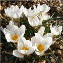 Крокус ранньовесняний chrysanthus Ard Schenk 10 цибулин